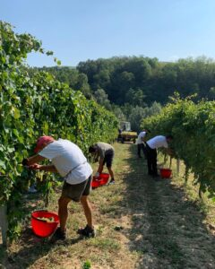 Picking Grapes in Italy | ITT