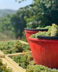 Grape Picking in Italy | ITT